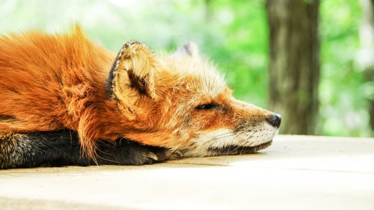 MRP_August_Sleeping Fox