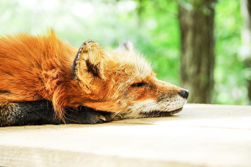 MRP_August_Sleeping Fox